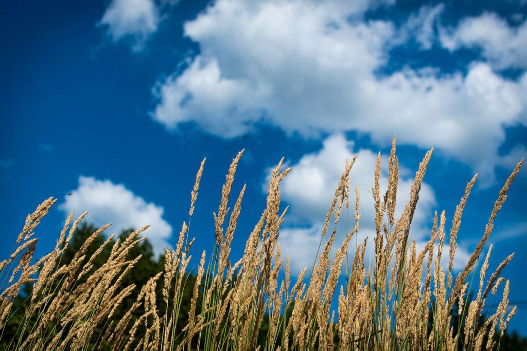 Long grass - sky - Lakefield 2018 W G Empey